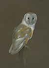 Link to 'Barn Owl'