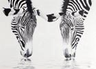 Link to 'Zebra Reflections'